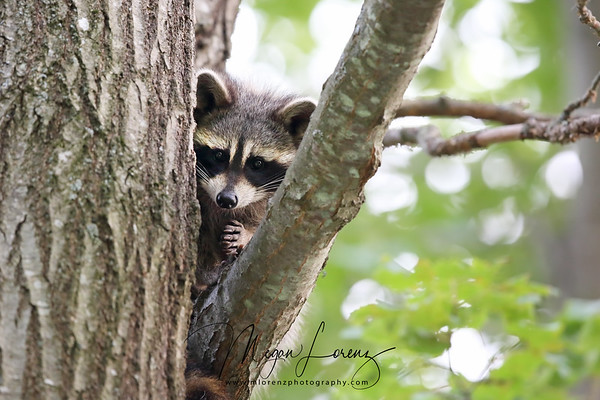 Young Raccoon in a tree in Ontario, Canada