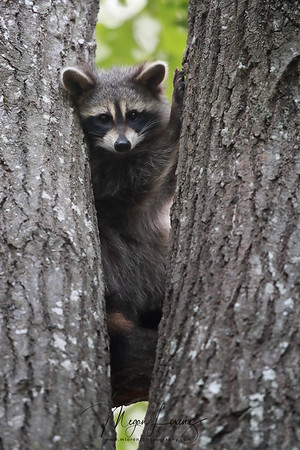 Young Raccoon in Ontario, Canada.
