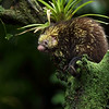 The tree porcupine, also referred to as the Mexican hairy dwarf porcupine, is found exclusively in the Americas, mainly around Mexico, Honduras, Guatemala, Costa Rica and Panama. They can be found in several National Parks of Costa Rica.