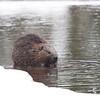 Beaver in Algonquin Provincial Park in Ontario, Canada.