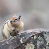 Golden-Mantled Ground Squirrel in Wyoming, U.S.A.