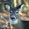White tail Deer, Marshlands Conservancy