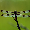 Female Twelve-spotted Skimmer, Marshlands Conservancy