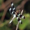 Twelve-spotted Skimmer, Marshlands Conservancy