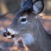 White-tailed Deer, Marshlands Conservancy