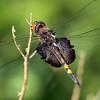 Black Saddlebags, Marshlands Conservancy