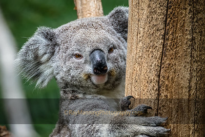 Koala Awakes from a Nap