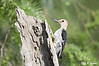 080628_LAJ_0891; Golden-fronted Woodpecker