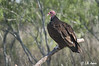 080518_LAJ7231; Turkey Vulture
