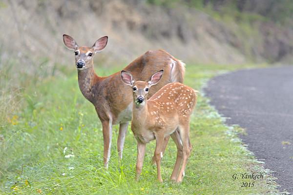 White-tailed Deer, Odocoileus virginianus