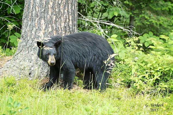 American Black Bear, Ursus americanus  Algonquin Provincial Park, Ontario