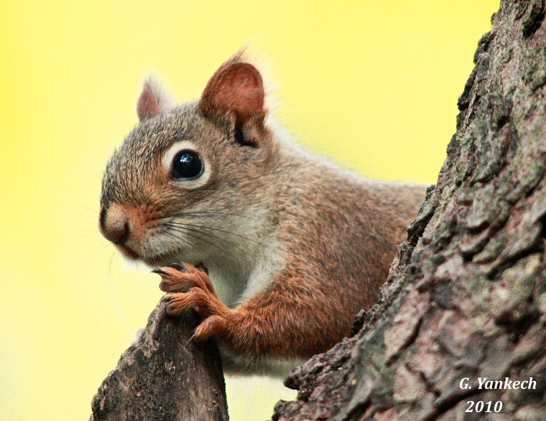 American Red Squirrel, Tamiasciurus hudsonicus  Rossetta Gardens, Scarbrough, Ontario