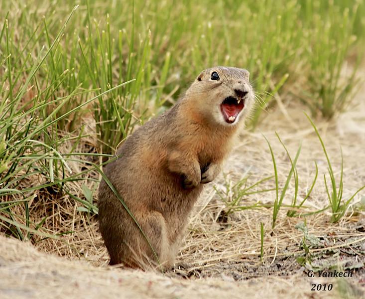 Richardson's Ground Squirrel, Urocitellus richardsonii  Oak Hammock Marsh, Manitoba