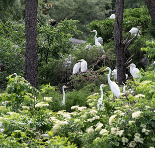 Great Egrets at the Rookery