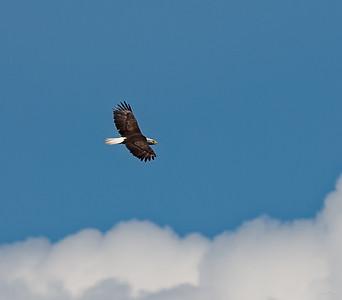 Adult American Eagle