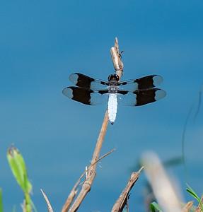 Dragonfly, Coomon Whitetaial, male (Plathemis lydia)