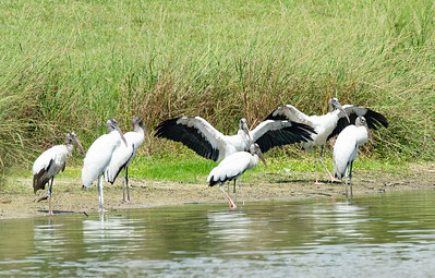 Wood Storks Cool off on the West side of Marin's Pond