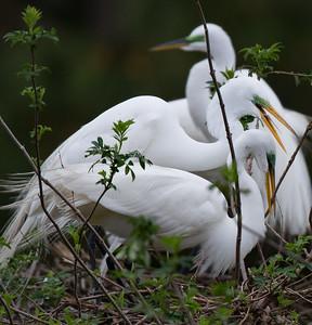 Great Egrets. nest building