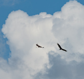 Big birds high in the sky over Marvin's Pond.