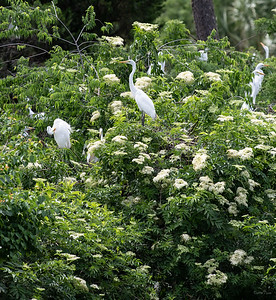 Great Egret surrounded by Elderberry flowers