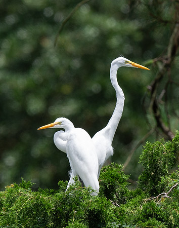 Great Egret Juveniles, still being fed by parents.