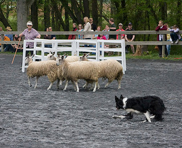 Border Collie Working the Sheep