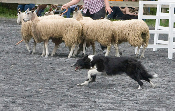 Border Collie, Working Sheep