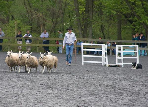 Collie Working Sheep