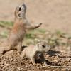 Prairie Dog Jump Yip