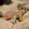 Prairie Dogs Sunbathing
