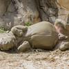 Rhino Belly Roll