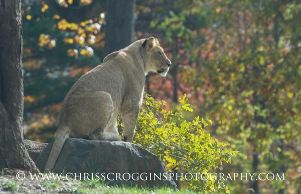 Lion in Autumn