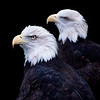 Rescued, captive bald eagles at the Ecotarium