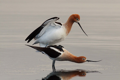 "American Avocet in early morning ""Mating Dance"""