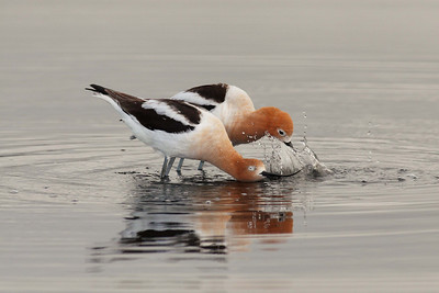 """American Avocet in early morning """"Mating Dance"""""""