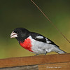 Beautiful male Rose-breated Grosbeak.