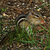Chipmonk at the cabin - Minong WI