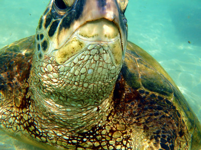 Maui Green Sea Turtles and Underwater Life