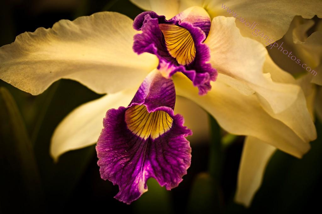 Maui Orchid Show
