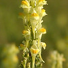 Butter and Eggs upclose<br /> Linaria vulgaris<br /> Scrophulariaceae
