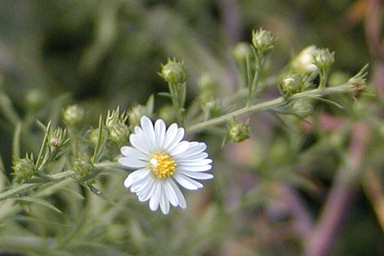 White Aster near the crossing stile.