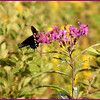 Pipevine Swallowtail on NY Ironweed