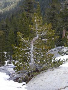 Pinus contorta, indeed.