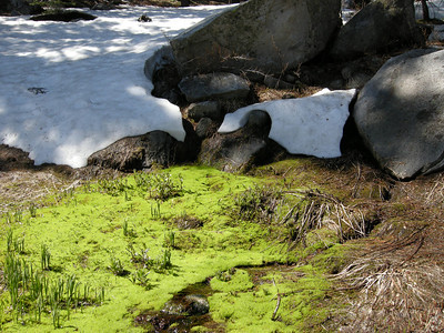 This photo shows how recently the rapidly-dwindling snow had melted back from the moss and sprouting greenery.