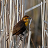 Female Yellow Headed Blackbird at Harrier marsh