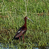 White-faced Ibis Harrier Marsh