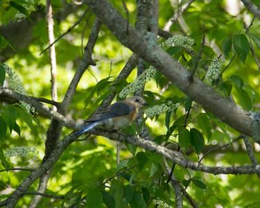 May 24 Bird banding and Yard