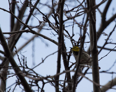 May 3 Warblers and Woodpeckers