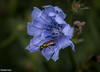 Chicory is one of those flowers which is frequently treated as a weed.  The color is a beautiful shade of blue, and as you can see here, the flower is complex on a closer view.  The bee appears to be a variety of sweat bee.