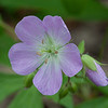 Detail of Wild Geranium bloom.  Usually in early May.
